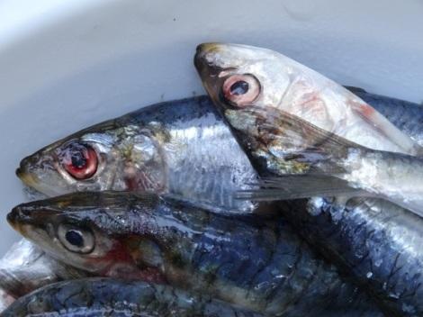 2015 07 sardines 5